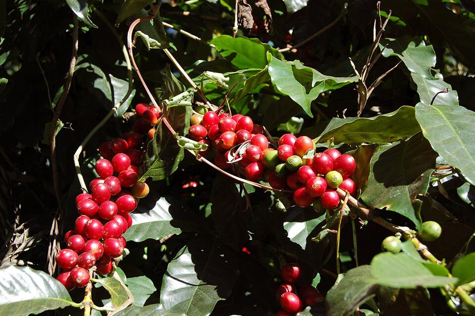 エスプレッソ用コーヒー豆の違い 〜安い豆が好んで使われる場合がある〜
