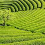 新茶の季節の茶畑