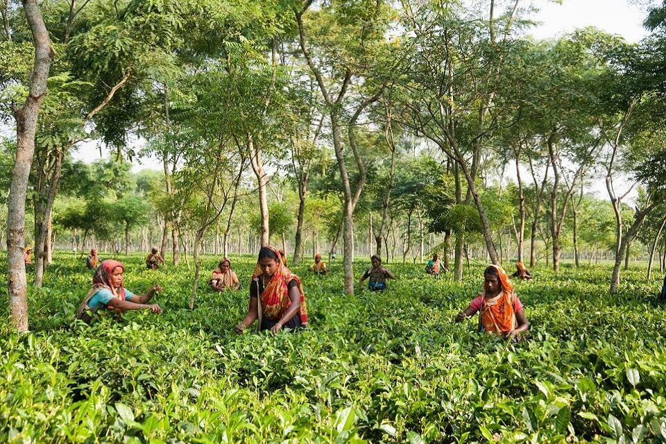 ティトゥーリア茶園で働く女性たち