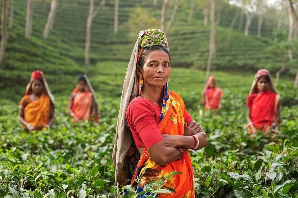 紅茶茶園の労働者は半分以上が女性