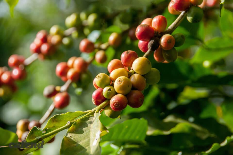 ゲイシャ?ロブスタ?ブルボン?意外と知らないコーヒーの品種について学ぼう!【入門編】