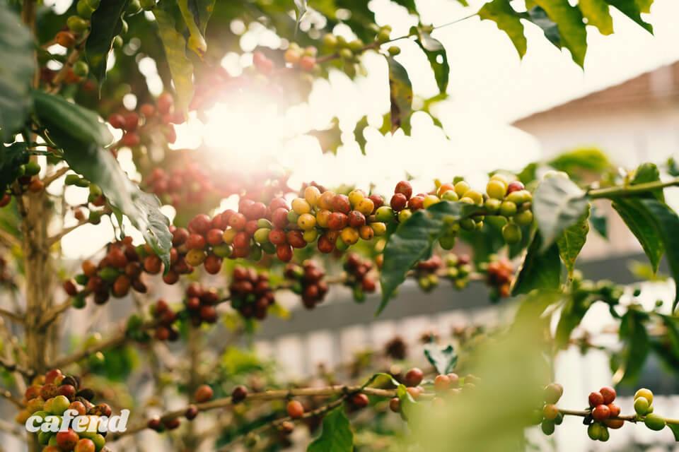 コーヒー農園ってどんなところ? 本場中米のコーヒー農園を訪ねてみよう